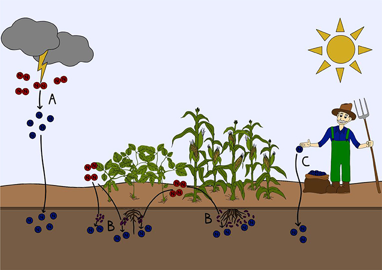 Figure 1 - How nitrogen gas fixed into a form that can be used by plants and animals.