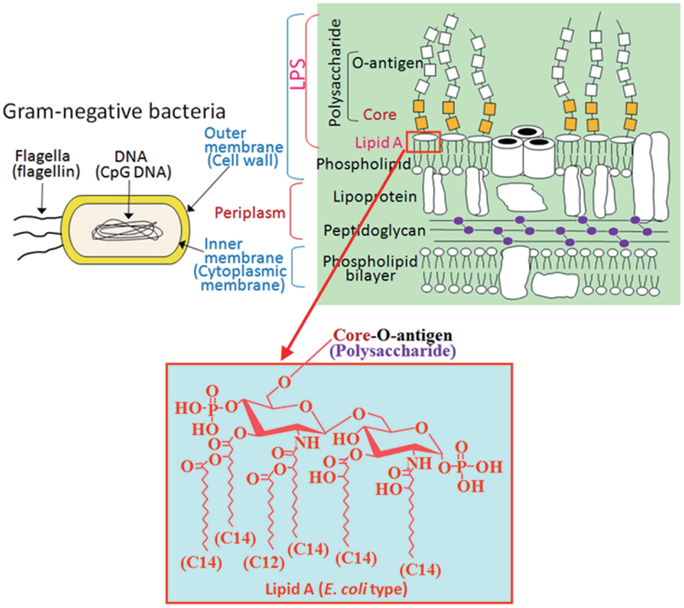 Frontiers structural modifications of bacterial lipopolysaccharide frontiersin figure 1 pamps included in gram negative bacteria ccuart Images