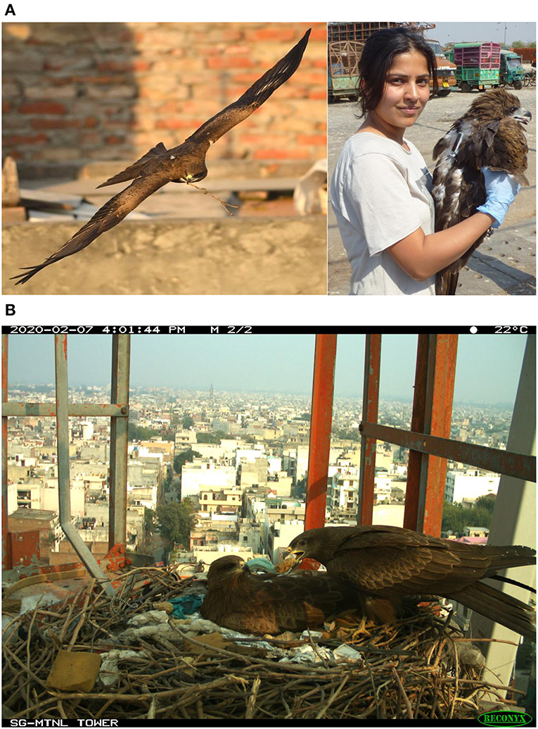 Figure 1 - (A) An urban Black Kite Milvus migrans govinda breeder with a twig in its beak is an opportunistic predator that capitalizes on human food subsidies.