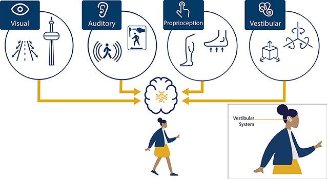 Figure 1 - The brain uses a combination of sensory inputs, visual (sight), auditory (sound), proprioception (muscles and joints), and vestibular (velocity and acceleration), to perceive self-motion.