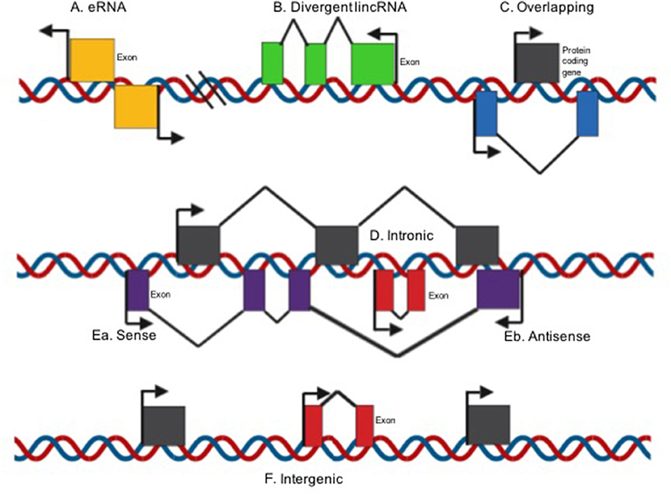 Frontiers Lncrnas As Regulators Of Autophagy And Drug Resistance In Colorectal Cancer Oncology