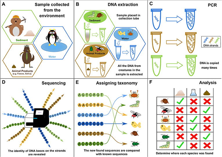 Figure 1 - How environmental DNA (eDNA) can be used to identify species.