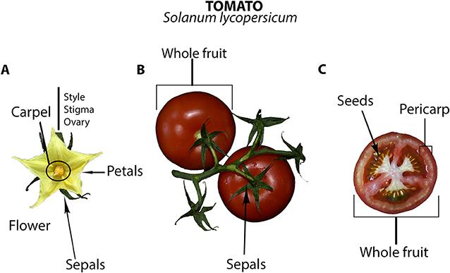 Figure 1 - Photographs of Solanum lycopersicum (Solanaceae), tomato.
