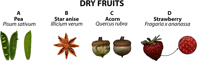 Figure 3 - Selected dry fruits, along with their Latin names: