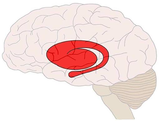Figure 3 - The striatum in the human brain, shown in red.