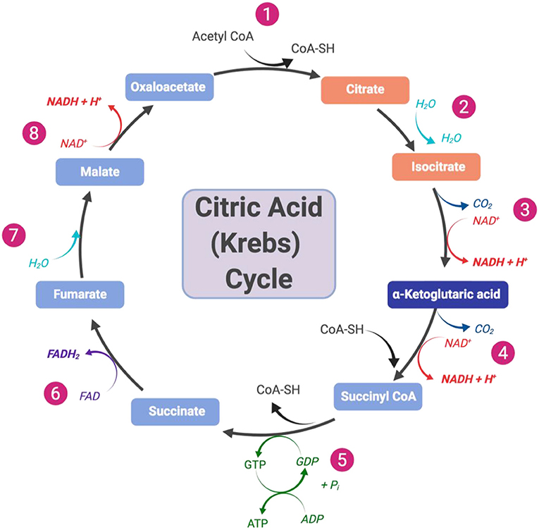 Figure 2 - Overview of the citric acid (Krebs) cycle that consists of eight steps.