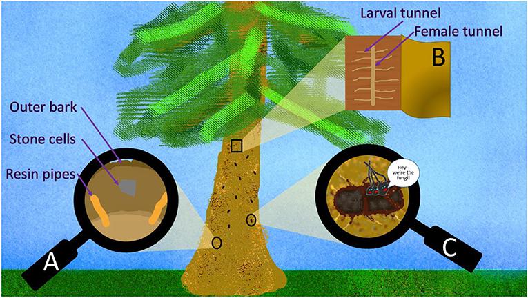 Figure 2 - Conifer castles and bark beetle attacks.