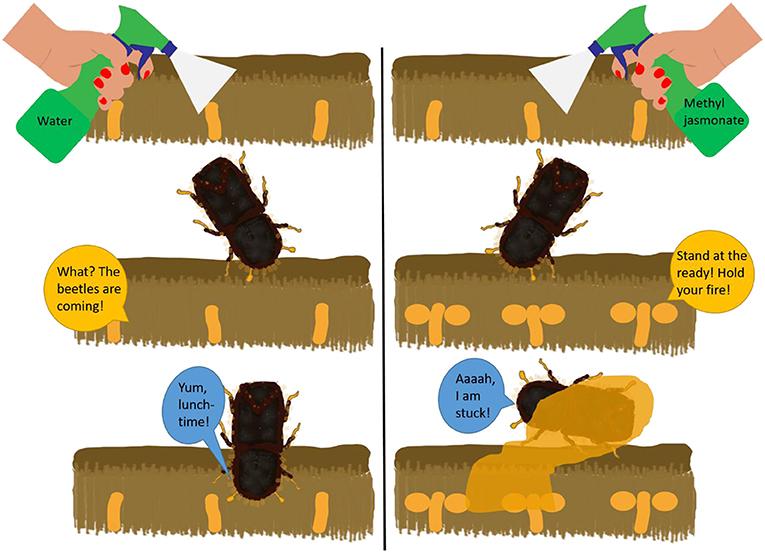Figure 3 - How methyl jasmonate can prevent bark beetle invasion.