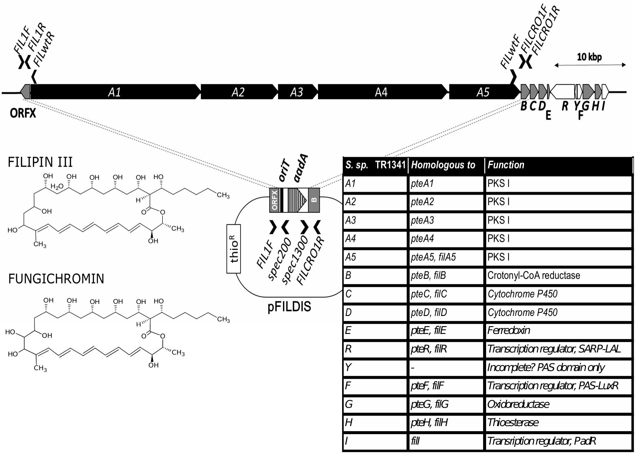 Frontiers A Human Lung Associated Streptomyces Sp Tr1341