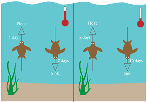 Figure 3 - Decomposition time of a sea turtle in warmer-temperature (left) and cooler-temperature (right) waters.