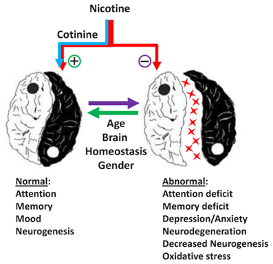 Frontiers | Brain effects of nicotine and derived compounds