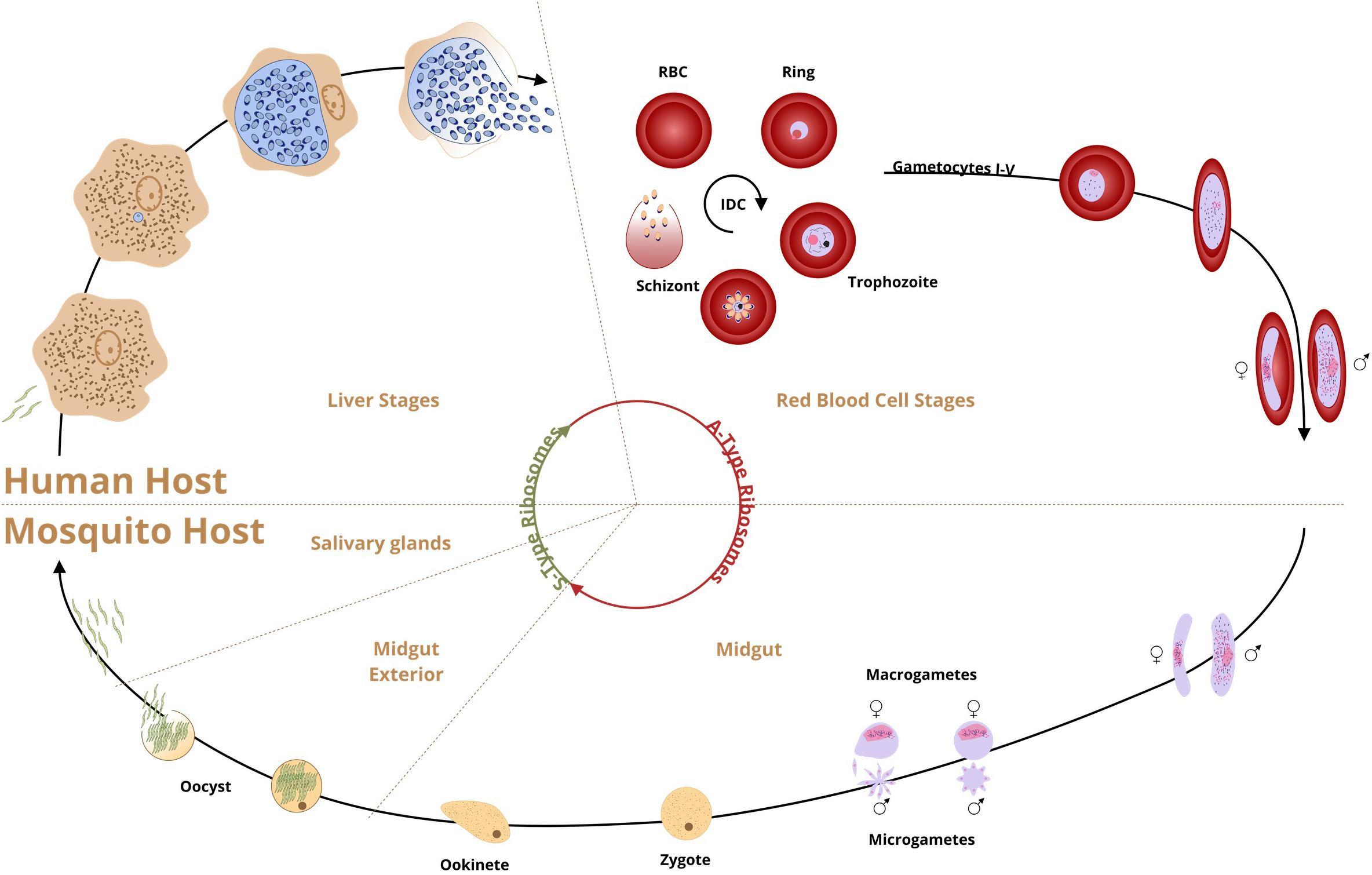 malária plazmodium sporogony)
