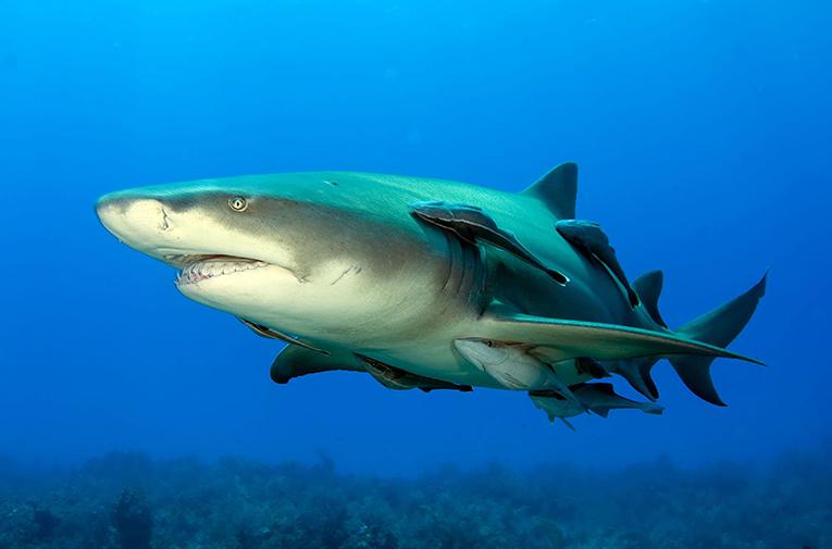 Figure 1 - A suckerfish hitching a ride on a lemon shark (source: Albert Kok, wikimedia).