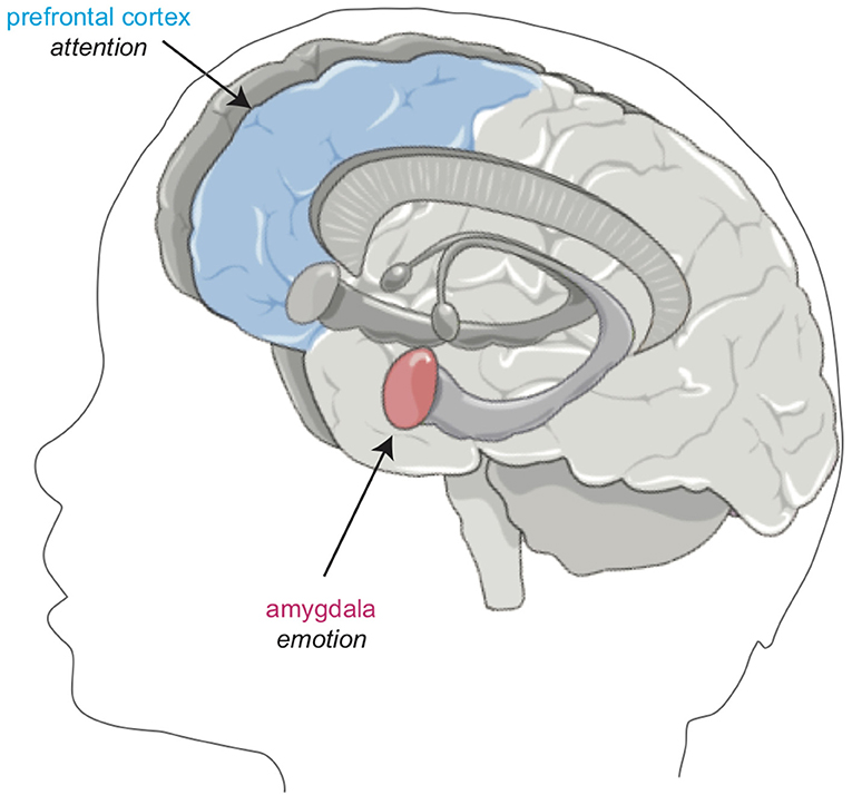 Figure 2 - Regions in the brain affected by sleep.