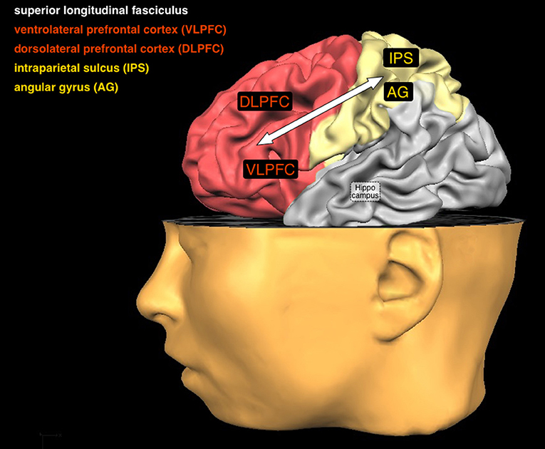 Figure 3 - In this figure you can see a number of brain areas and one connection that are important for arithmetic.