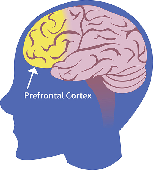 Figure 1 - The prefrontal cortex.