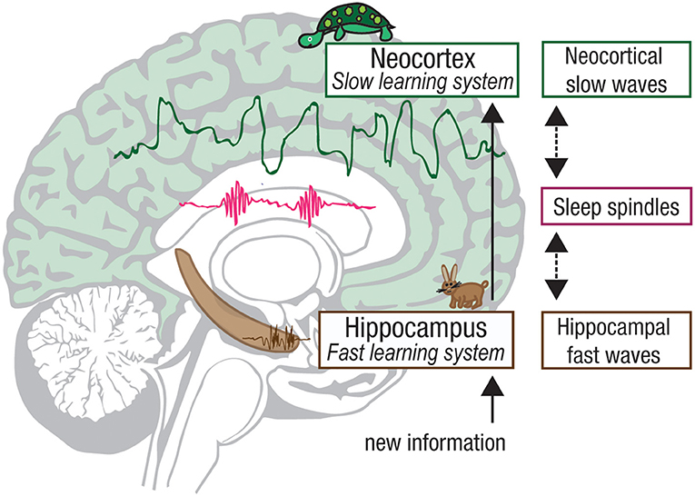 Figure 3 - How slow-wave sleep helps with memory storage.