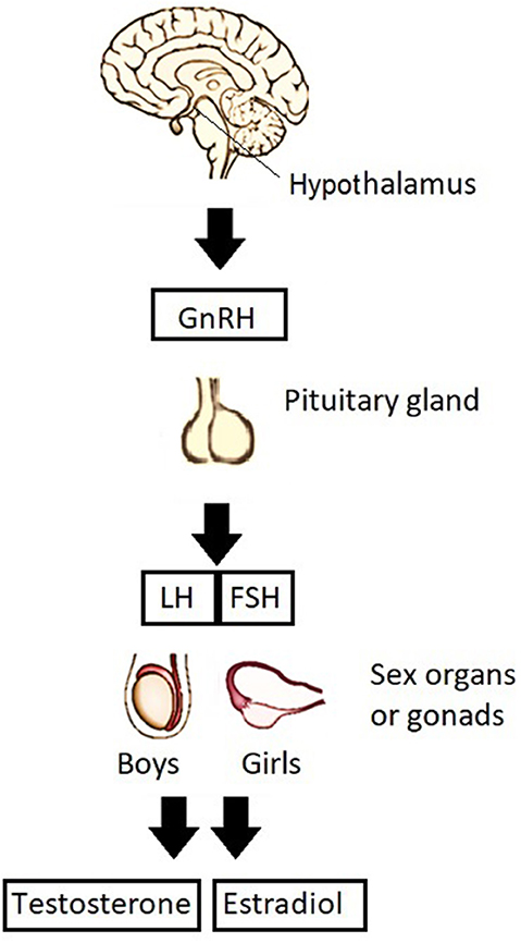 Figure 2 - This figure shows how a signal from the brain leads to increases in puberty hormones.