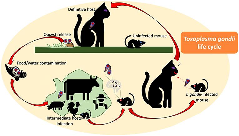 ucide paraziti toxoplasmoza