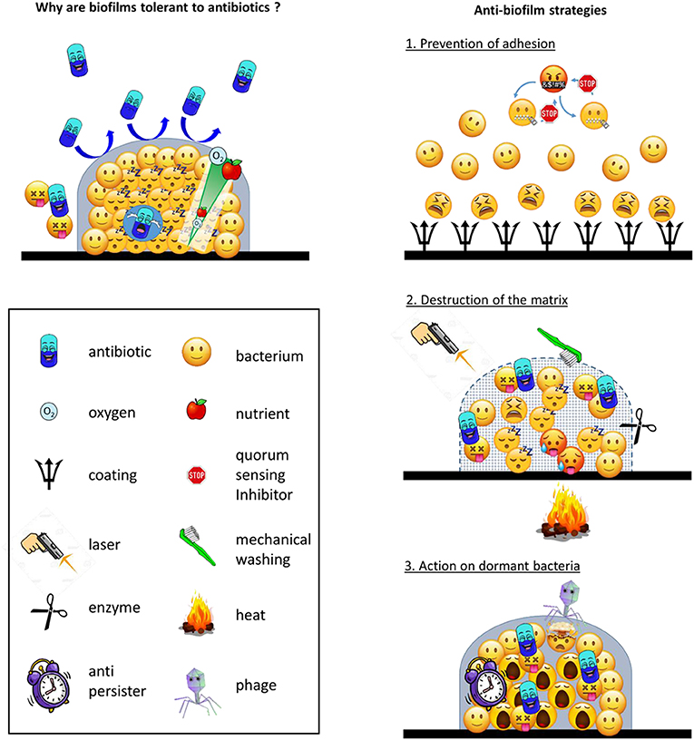 Figure 2 - (Left) Why biofilms are tolerant to antibiotics.