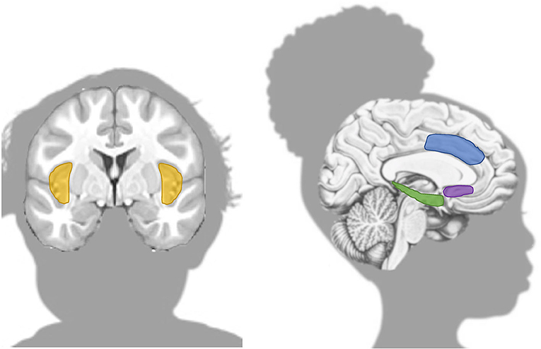 Figure 2 - Brain regions that demonstrate the difference between sensitive and resilient youth.