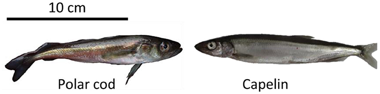 Figure 1 - Polar cod and its competitor, capelin.