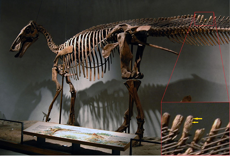 Figure 3 - In the tail of this dinosaur, Edmontosaurus annectens, there is clear evidence of predation of the tail.