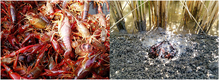 Figure 1 - A bunch of red swamp crayfish captured in wild (left) and the red swamp crayfish coming out of its burrow made in a dyke of rice field (right).