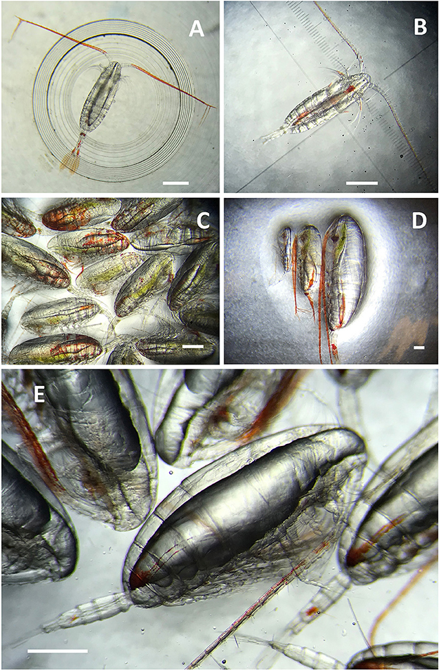 Figure 1 - (A,B) The marine copepod, Calanus, has broad, sensory antennae and feathery tail-like structures that help them detect and evade predators.