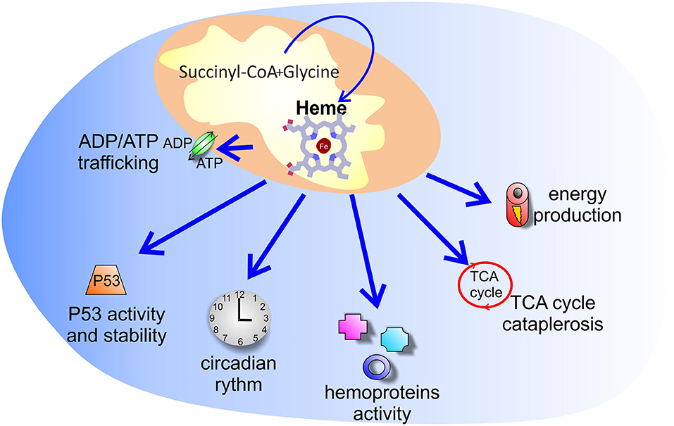 Frontiers The Multifaceted Role Of Heme In Cancer Oncology