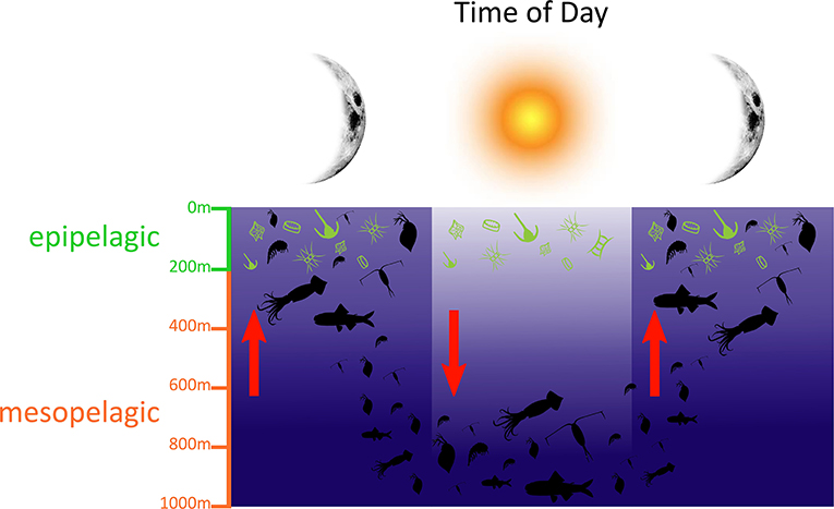 Figure 1 - Light, food, and predation risk drive diel vertical migration (DVM) of zooplankton and fishes.