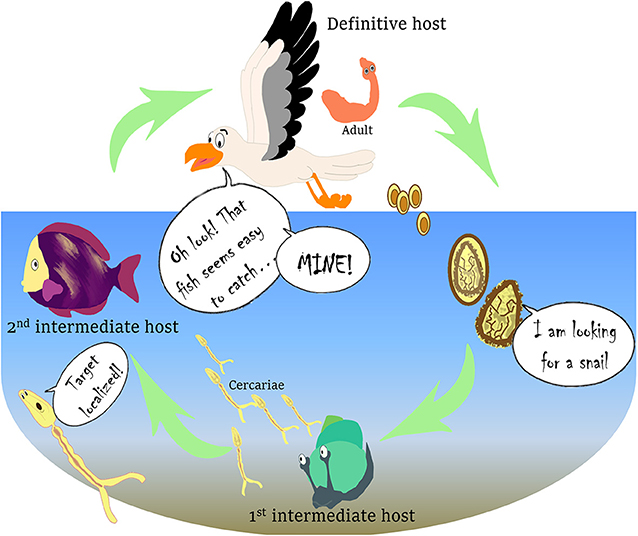 Figure 1 - Complex life cycle of the parasite C. longicollis.