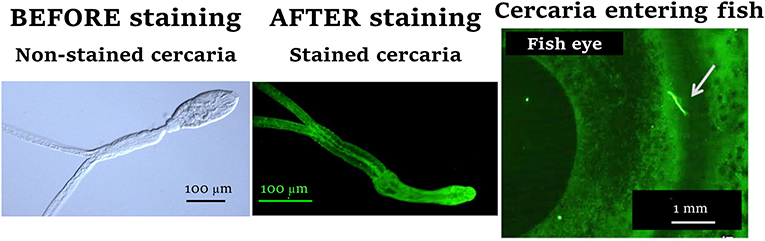 Figure 2 - C. longicollis cercariae are transparent, so we marked them with fluorescence to be able to see and locate them on the fish's body surface.