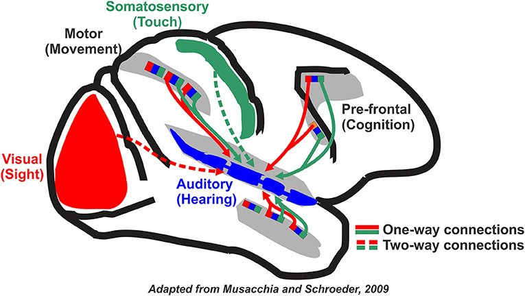 Figure 1 - Other sensory areas of the brain provide input to the auditory (hearing, in blue) area.