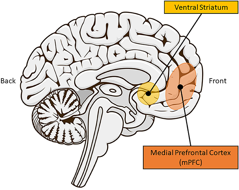 Figure 2 - Brain areas involved in social learning.