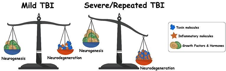 Figure 3 - Balance between neurogenesis and neurodegeneration following TBI.