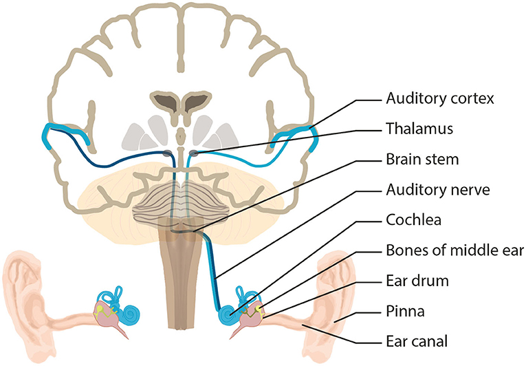 Figure 1 - Here we see the machine-like structures and neurons of the auditory system.