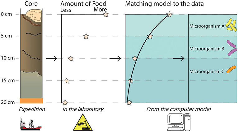 Figure 3 - A sediment core is collected, complete with worms and sponges! A chosen condition, such as the amount of food (organic matter) available for microorganisms, is measured in the laboratory.
