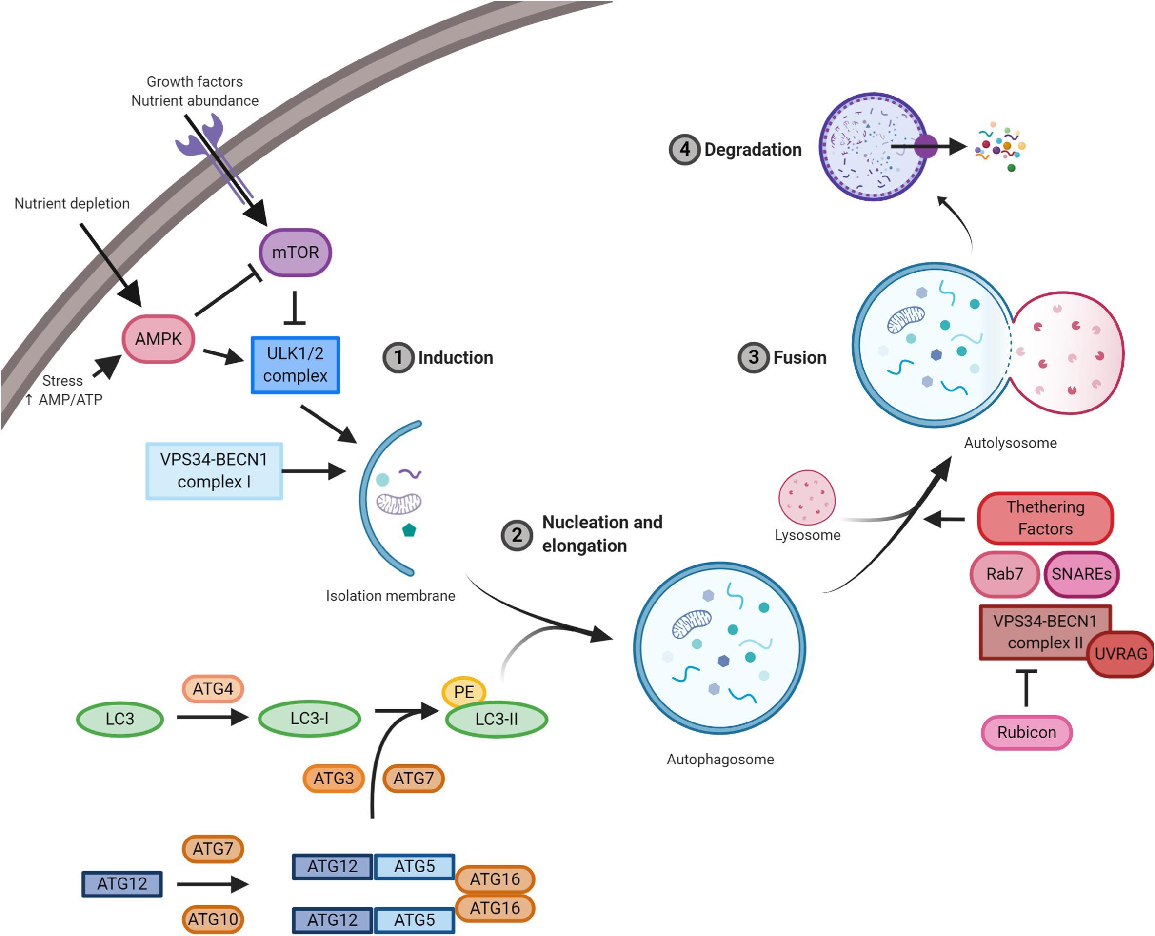 humán papillomavírus onkogenezise emberi papillomavírus arabul