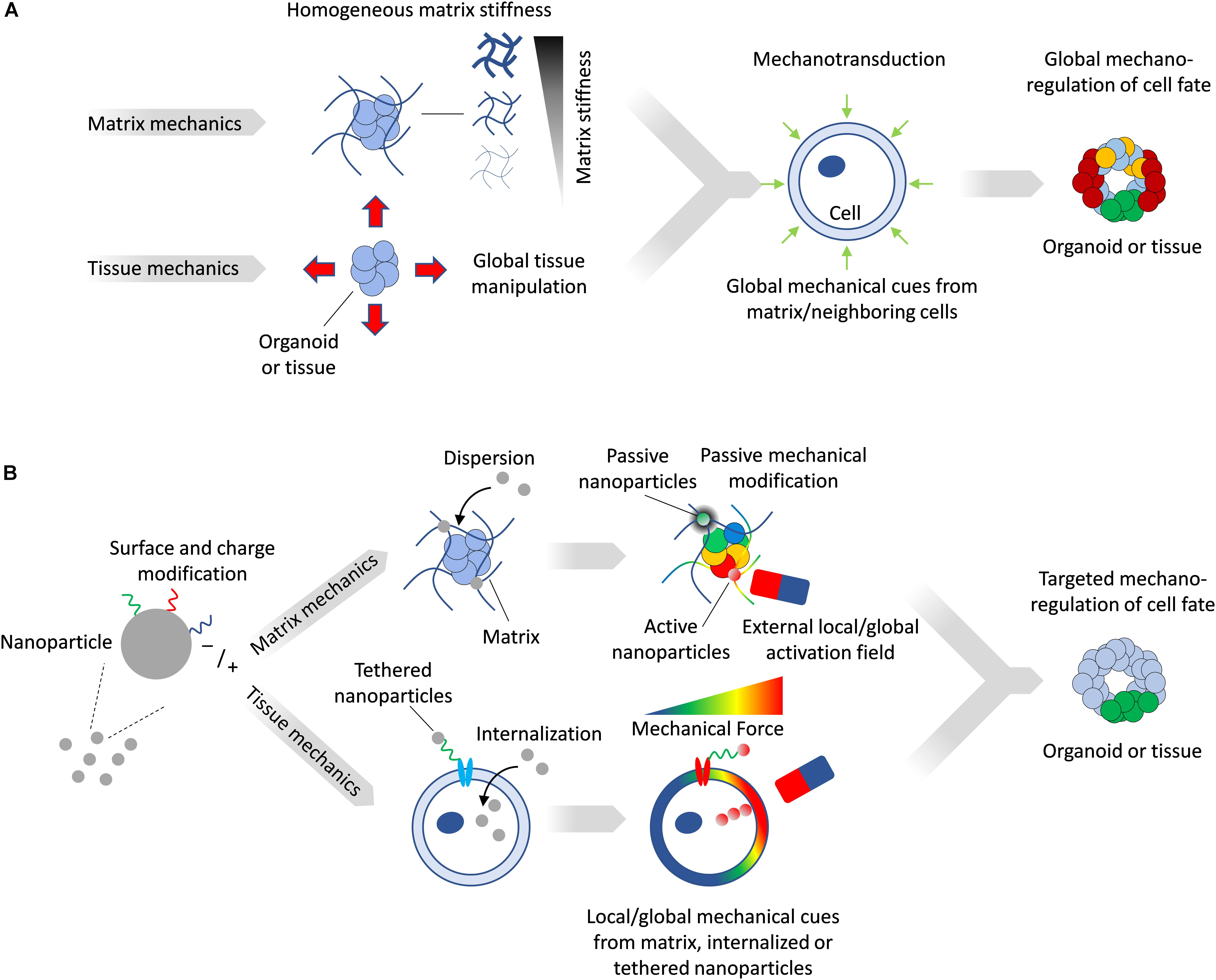 Frontiers Nanoparticles As Versatile Tools For Mechanotransduction In Tissues And Organoids Bioengineering And Biotechnology