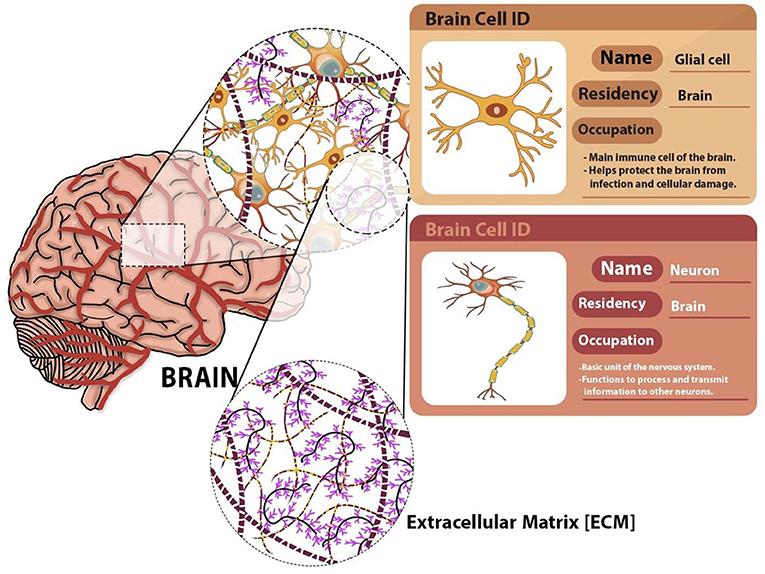 Figure 1 - The 3D structure of brain cells: brain cells and their surrounding extracellular matrix (ECM).