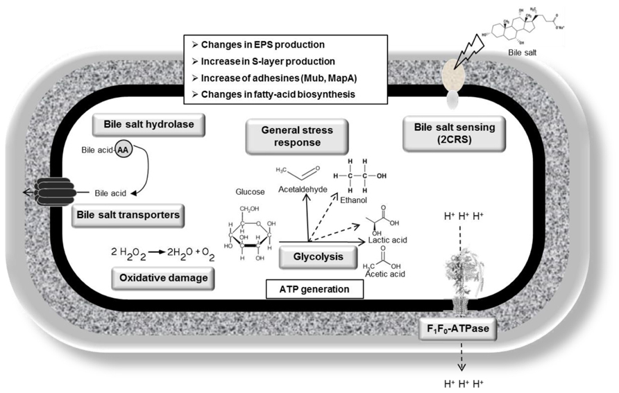 Frontiers Bile Resistance Mechanisms In Lactobacillus And