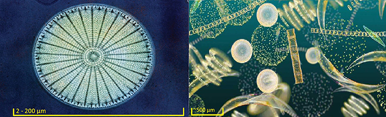 Figure 1 - A circular diatom (left)2 and a phytoplankton community (right)3 Scale bars are approximations of size.