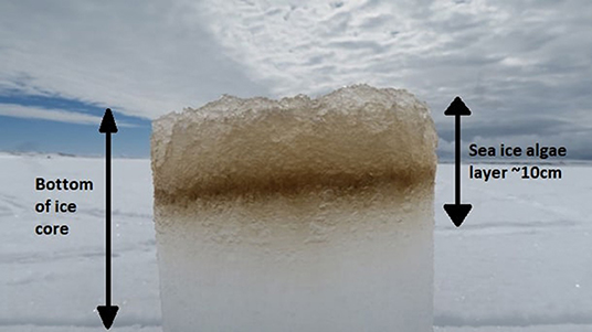 Figure 2 - An ice core showing sea ice algae (brown layer inside the ice), including diatoms, dwelling within the bottom 10 cm of the ice4.