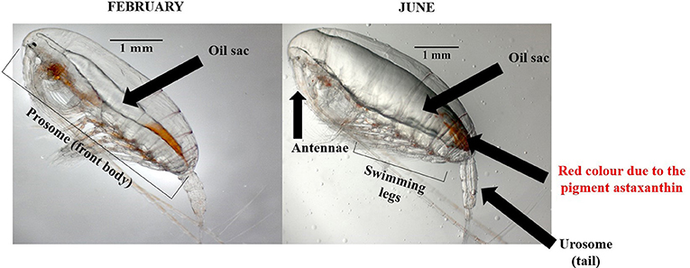 Figure 4 - Calanus copepods sampled in February (left) and June (right).