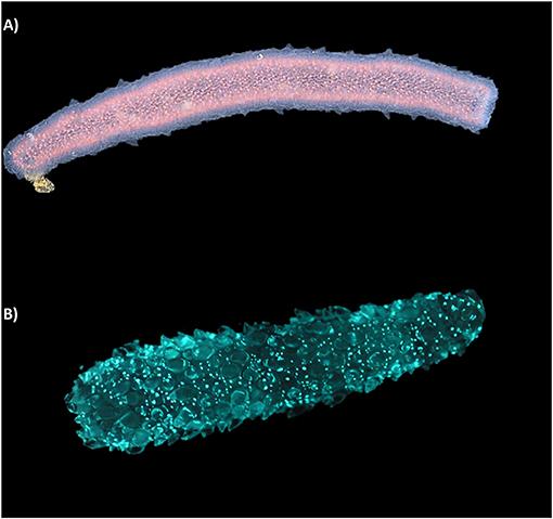 Figure 2 - Pyrosomes: interesting bioluminescent animals.