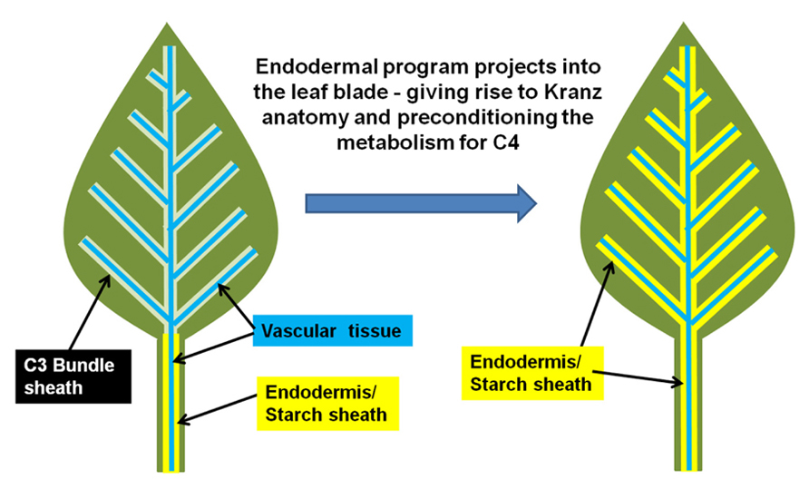 Frontiers | Using evolution as a guide to engineer kranz-type c4 ...