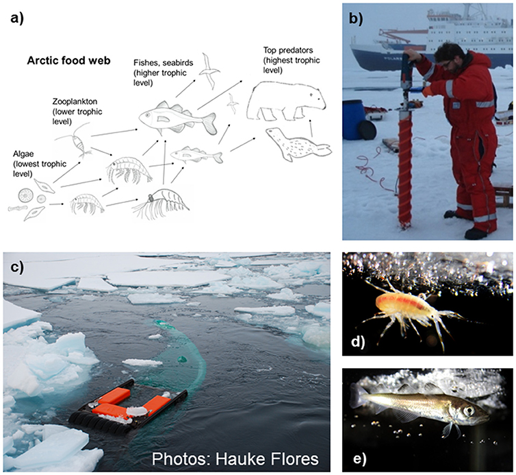 Figure 2 - (a) Simplified structure of the Arctic food web.