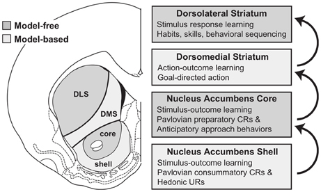 Frontiers   The nucleus accumbens as a nexus between values and ...