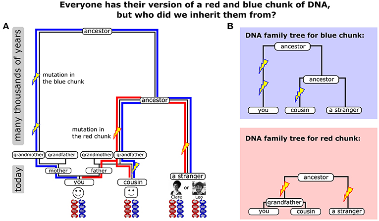 Figure 1 - (A) We show two different chunks of DNA in red and blue and how they were passed through our ancestors.